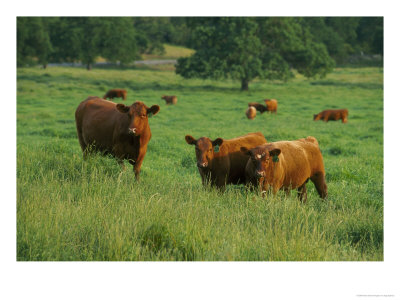 412766~Red-Angus-Cow-with-Calves-in-Field-Posters