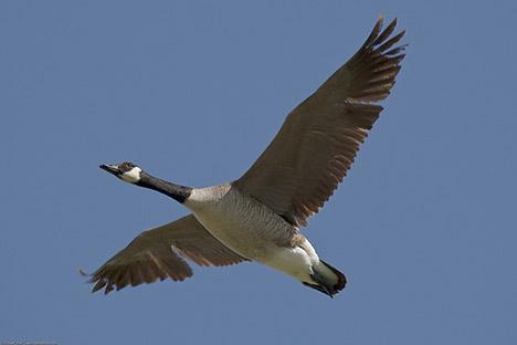 20090116-canada-goose