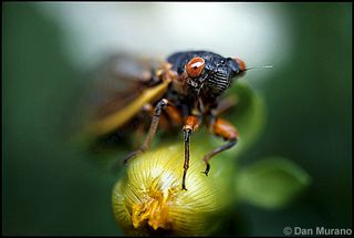 Murano-02-Cicada