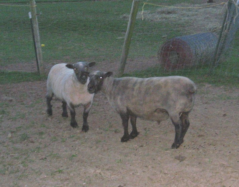 Sheep 022