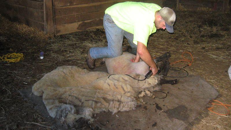 Sheep 010