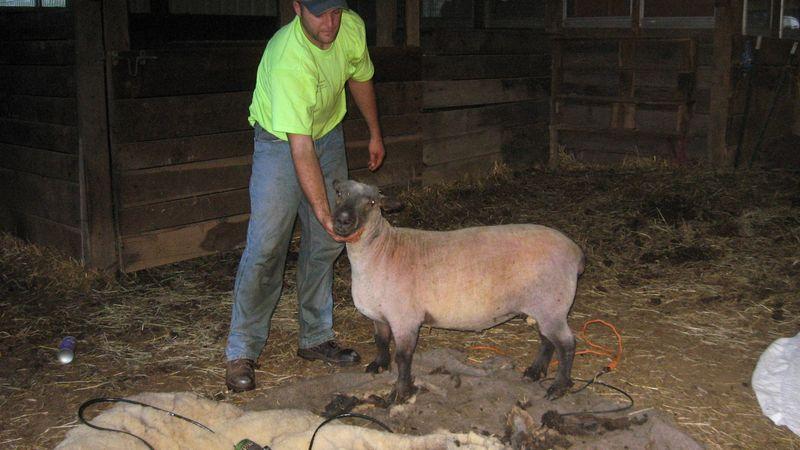 Sheep 011