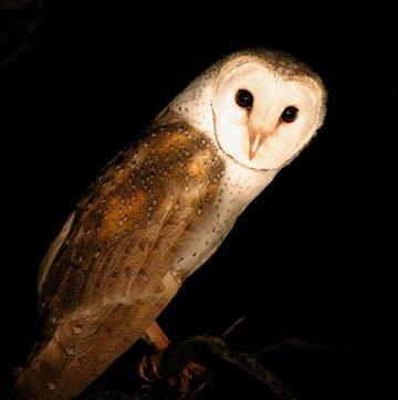 Barn_owl